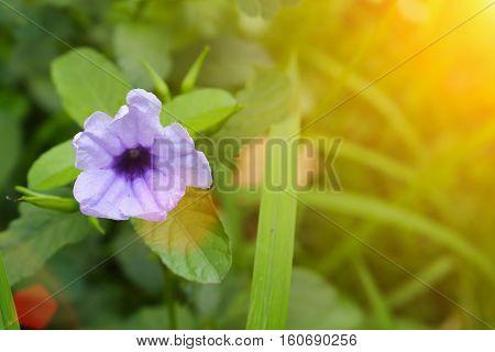 purple ruellias flower bloom in the morning. (Ruellia tuberosa Linn. Waterkanon Watrakanu Feverroot Popping pod) : blurred background : select focus front Ruellia.