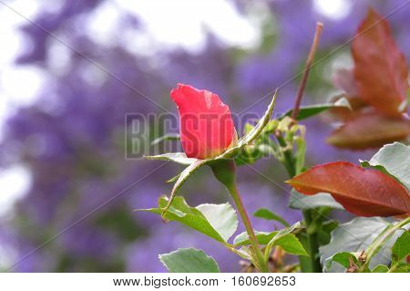 Red rosebud against a purple jacaranda tree background