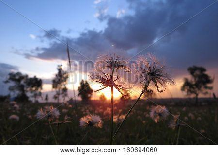 Sunlight through dandelion weed grass in an Australian summer bush field