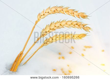 Golden ear of wheat and grain in the snow closeup winter agriculture background