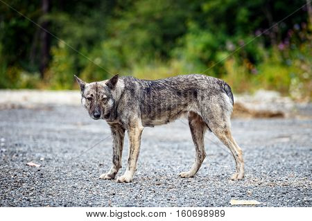 Picture Of An Aggressive Dog, Close Up