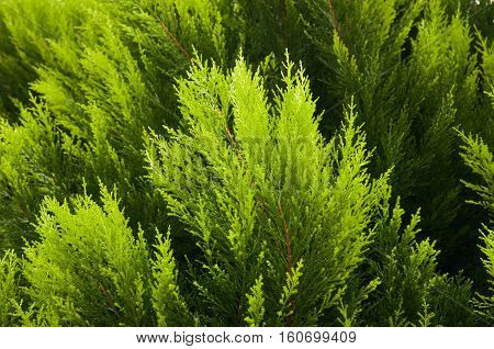 Popular ornamental plants green juniper. It can be used as a background