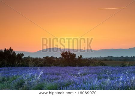 Sunrise over a summer lavender field in Provence, France