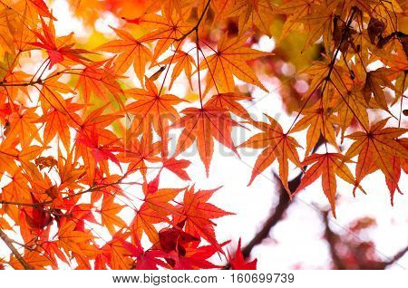 Red Maple leaf on the tree when the leaves change color in Japan.