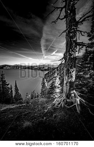 Crater Lake Oregon Black And White Bark Pine Tree