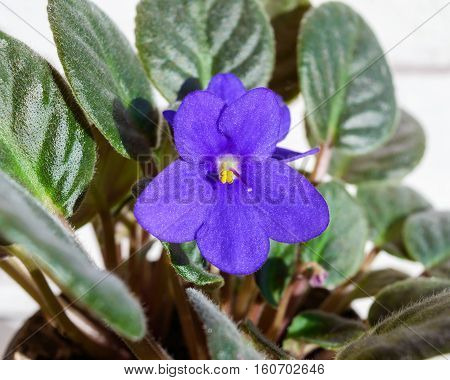 Houseplant a violet with purple flower in a brown pot on a white background. Close-up.