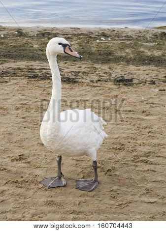 Young Mute swan Cygnus olor with pale red beak walking on sand beach at sea shoreline close-up portrait selective focus shallow DOF