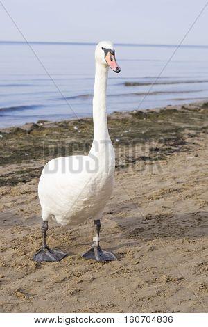 Mute swan Cygnus olor walking on sand beach at sea shoreline close-up portrait selective focus shallow DOF