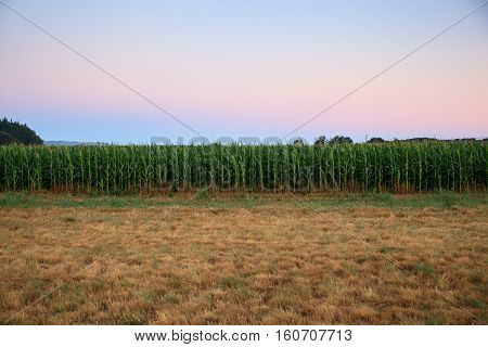 View of green cornfield in the morning