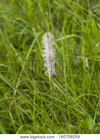 Hoary Plantain Plantago media blossom in weed macro selective focus shallow DOF