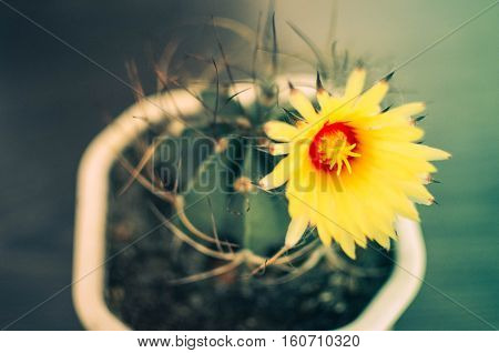 Cactus With Yellow Blossom In The Pot