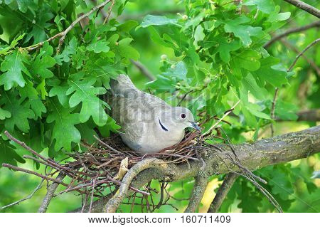 Pigeon bird. Nest of a dove bird in the nature.