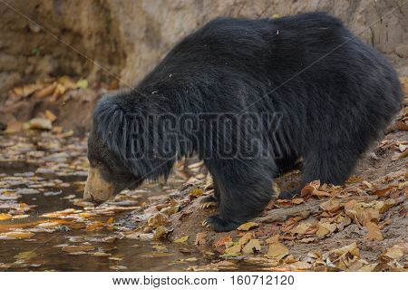 Big beautiful sloth bear male is searching termites/wild animal in the nature habitat/India