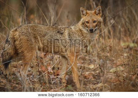 Beautiful golden jackal in nice sof light in Pench tiger reserve in India