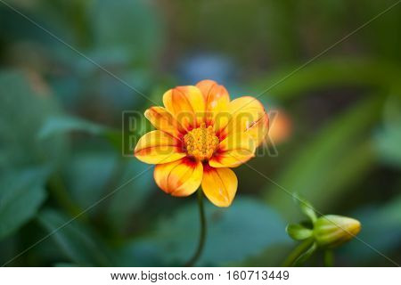 Flower Dahlia. Beautiful Yellow Flower Dahlia Grow In Flower Garden Summer.