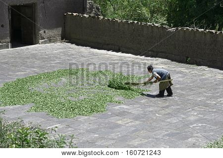 Worker drying coca leaves in a traditional way at The Coca Leaves Depot in Chulumani. October 13, 2012 - Chulumani, Sud Yungas, Bolivia
