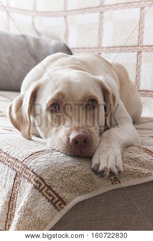 Large white dog lies on the bed and looks into