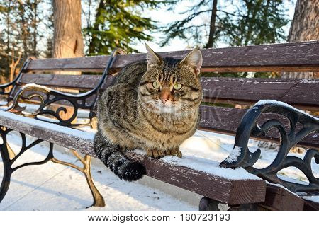 Beautiful striped cat sitting on a park bench winter snow in the morning.