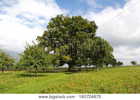 Centennial oak / Huge millennial oak stands in the meadow