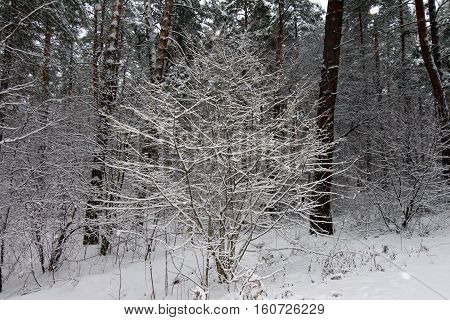 On the black branches of the tree lies a thick layer of snow (lots). The photo was taken in winter. The background is blurred. In the foreground the glare from the snowflakes.