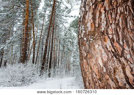 On the black branches of the tree lies a thick layer of snow (lots). The photo was taken in winter. In the foreground tree trunk (bark pine). The background is blurred.