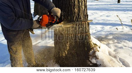 Cut down the dry tree with a chainsaw in the winter.