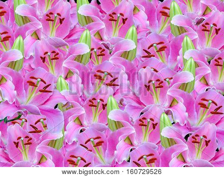 beauty bloom pink lilly flower background .