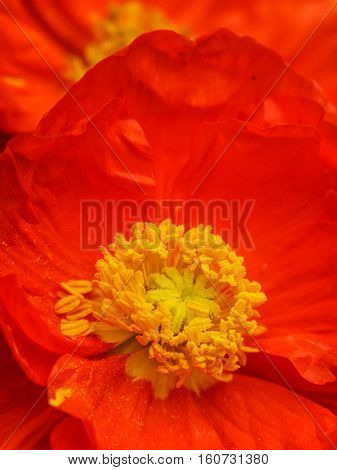 Vibrant red/orange poppy detail with pollen clearly visible on the stamens and petals