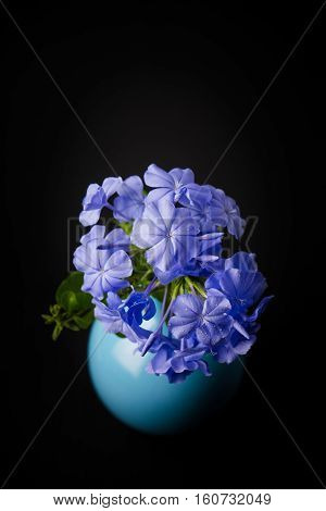Blue plumbago flowers in vase (Cape Leadwort or Plumbago auriculata) on wooden table