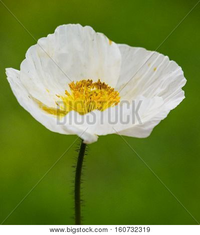 White Icelandic poppy in May taken against a diffused green background.