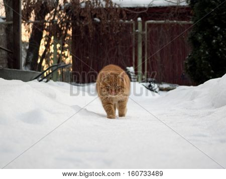 Auburn rustic cat walking on the snow among the snowdrifts