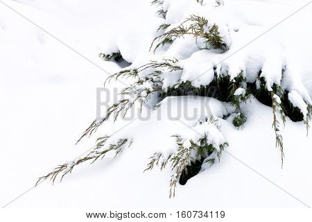 Russian Winter. Green Juniper Sprout Under Snow, White Background