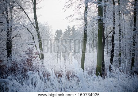 Forest in winter, with frozen trees and sun.