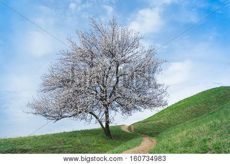 Lonely apricot tree on a spring hill at flowering time.
