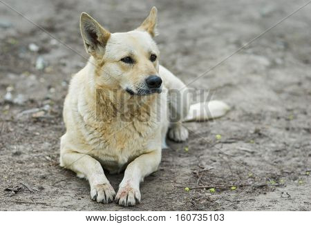 Portrait of homeless dog having rest on the ground.