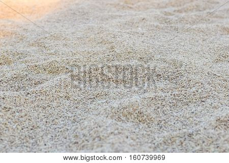 Wheat grains Rice pile of paddy whole rice