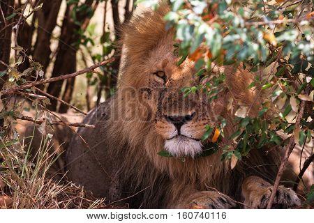 King of beasts on guard. Masai Mara, Kenya