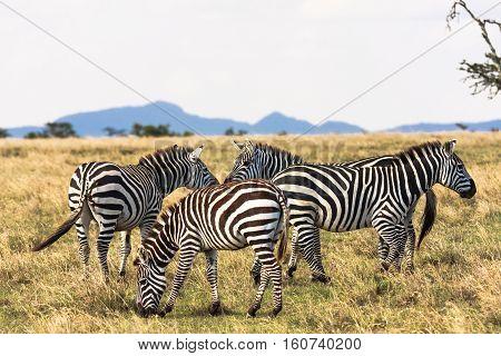 Zebras in the savannah. Zebra communicate. Masai Mara, Kenya