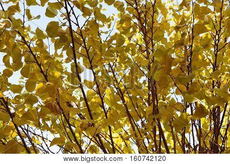 Tree in autumn. Cercis siliquastrum. Judas tree.