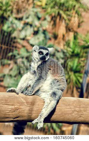 Ring-tailed Lemur Sitting On The Tree. Lemur Catta Endemic To The Island Of Madagascar