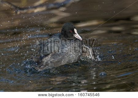 black coot (Fulica atra) grooming and splashing in the water