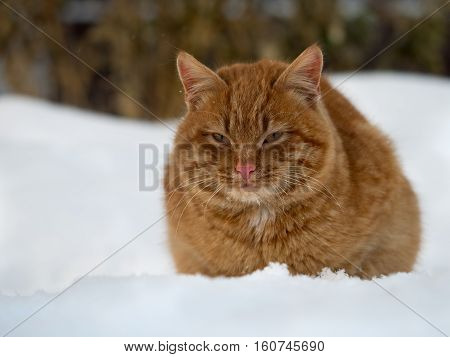 Red cat sittingRed cat sitting in snow drifts. Cold winter in snow drifts. Cold winter