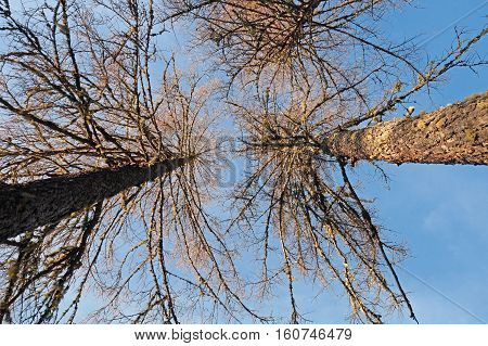 defoliated and leafless trees , view from below