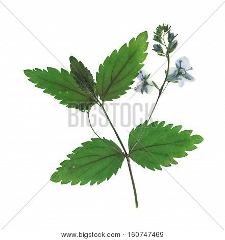 Pressed and dried flowers Veronica officinalis. Isolated on white background. For use in scrapbooking floristry (oshibana) or herbarium.
