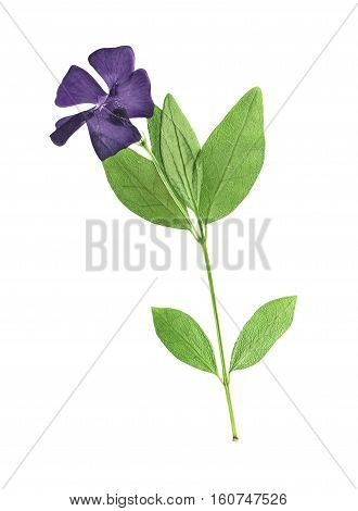 Pressed and dried flowers periwinkle (vinca minor) on stem with green leaves. Isolated on white background. For use in scrapbooking floristry (oshibana) or herbarium.