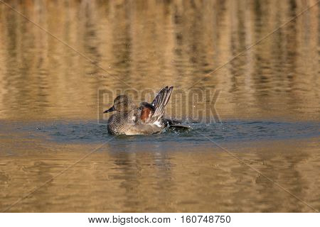 male gadwall duck (Anas strepera) splashing and grooming