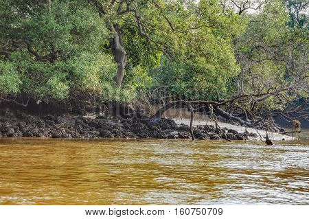 Young mangrove trees in forest Salim Ali Bird Sanctuary, Goa, India. Boat trip and kayaking in mangrove tunnels.
