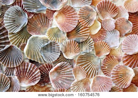 Sea Shell Background 2