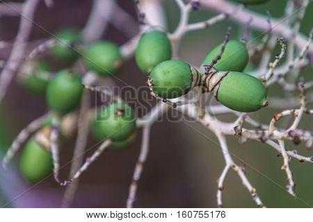 Cyrtostachys Renda ornamental plant in gardens. close up shot.