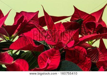 Poinsettia flower flourish indoor macro. Euphorbia pulcherrima.